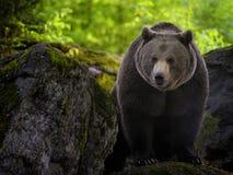 熊棕色欧亚混血人 图库摄影