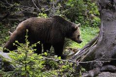 熊棕色欧亚混血人 库存照片