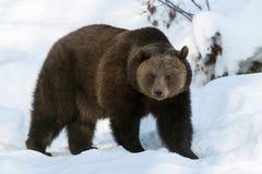 熊棕色欧亚混血人 免版税图库摄影