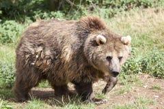 熊棕色欧亚混血人 库存图片