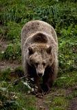 熊棕色欧洲 图库摄影