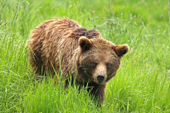 熊棕色欧洲 库存图片