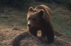 熊棕色欧洲 免版税图库摄影