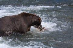 熊棕色沿海吃三文鱼 图库摄影