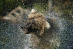 熊棕色浪花水 免版税库存图片