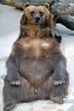 熊棕色滑稽的姿势 免版税库存照片