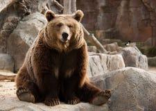 熊棕色滑稽 库存照片