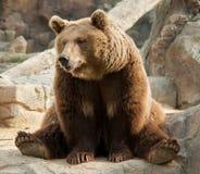 熊棕色滑稽 免版税图库摄影