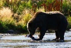 熊棕色科迪亚克熊 免版税图库摄影