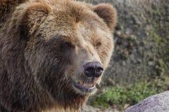 熊棕色纵向 图库摄影