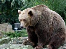 熊棕色纵向 免版税库存图片