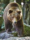 熊棕色纵向 免版税图库摄影