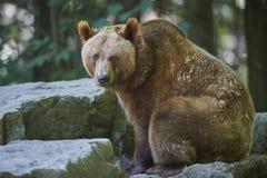 熊棕色纵向 免版税库存照片