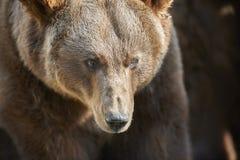 熊棕色纵向 库存照片