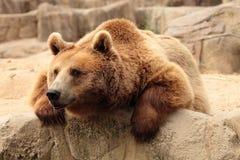 熊棕色通配 免版税图库摄影