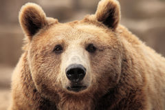 熊棕色通配 免版税库存照片