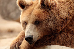 熊棕色通配 图库摄影