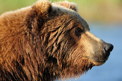 熊棕色配置文件 免版税库存照片