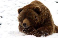 熊棕色雪 库存图片
