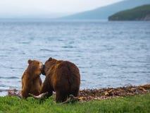 熊棕色水牛二动物园 免版税库存图片