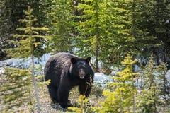 黑熊正面图 免版税库存图片