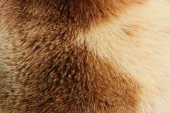 熊毛皮 免版税库存图片