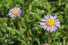 熊河Fleabane花-飞蓬属植物Ursinus 库存图片