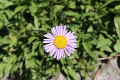 熊河Fleabane花-飞蓬属植物Ursinus 免版税库存照片