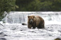 熊溪棕色河身分 库存照片