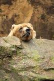 熊滑稽的北美灰熊题头他休息 免版税库存照片