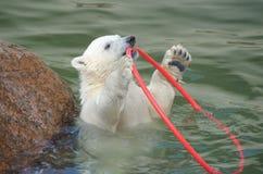熊演奏极性白色的一点 免版税库存图片