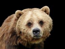 熊照相机看起来男性哀伤的关闭北美灰熊 图库摄影