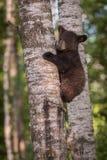 黑熊熊属类在树眼睛的美洲的Cub关闭了 库存图片