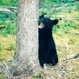 黑熊熊属类美洲的育空北方森林 免版税库存照片