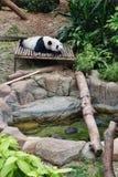 熊猫休息的休息例证 免版税库存照片