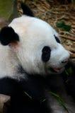熊猫吃与在嘴的绿色叶子 库存图片