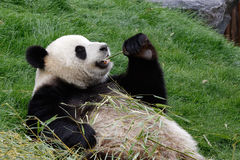 熊猫吃 免版税库存照片
