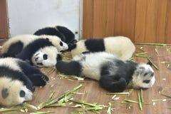 熊猫在屋子采取休息里 图库摄影