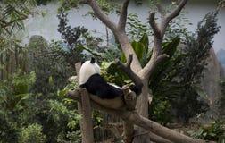 熊猫在新加坡动物园里 免版税图库摄影