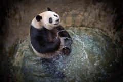 熊猫在池塘水中使用 免版税库存图片