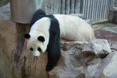 熊猫攀登岩石 库存图片