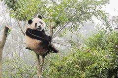 熊猫涉及竹树 免版税库存图片