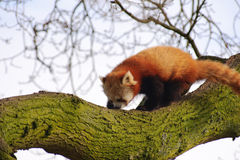 熊猫红色结构树 库存照片