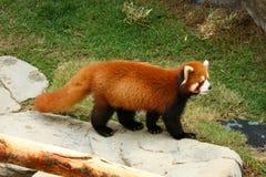 熊猫红色走 库存图片