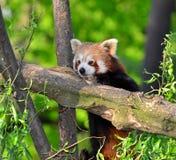 熊猫红色 免版税图库摄影