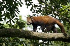 熊猫红色 免版税库存照片