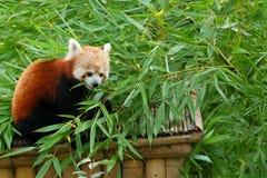 熊猫红色 免版税库存图片