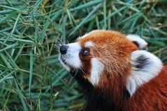 熊猫红色 库存照片
