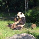 熊猫蛇神 图库摄影