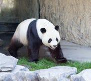 熊猫走 库存图片